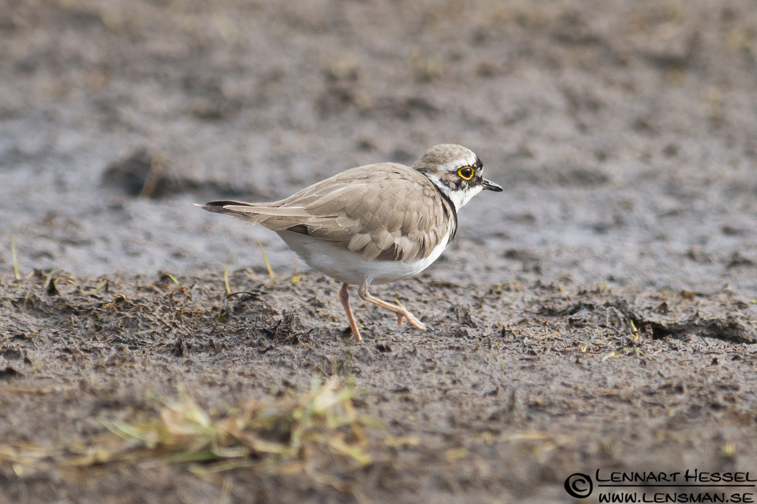 Little Ringed Plover at Stora Amundön practice