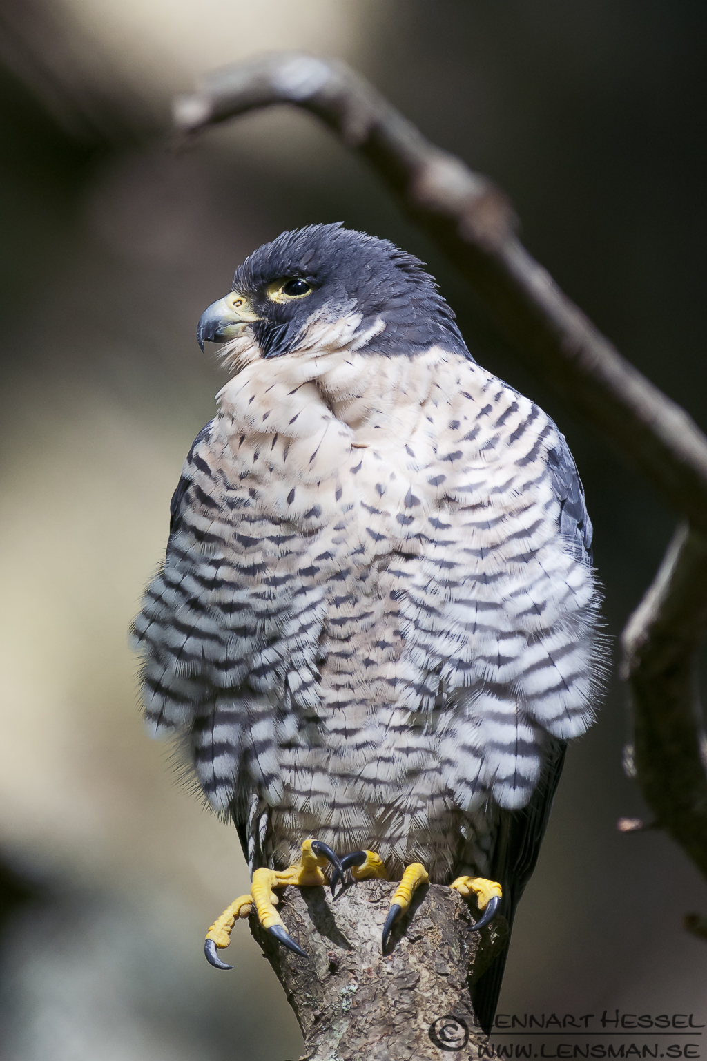 Peregrine Falcon, photo taken at Nordens Ark