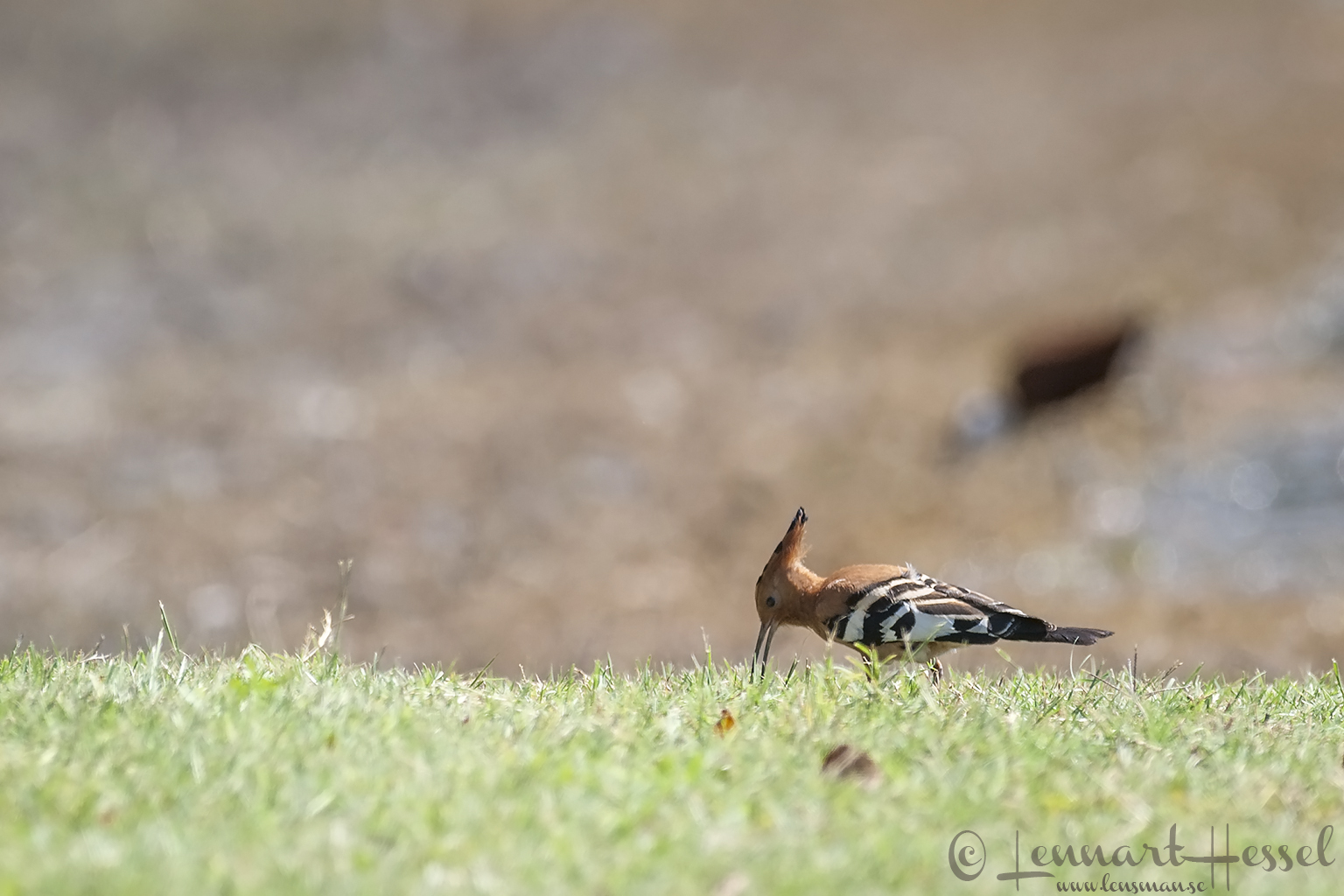 African Hoopoe at Thamalakane River Lodge, Botswana