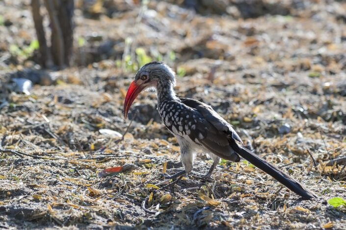 Southern Red-billed Hornbill at Thamalakane River Lodge, Botswana