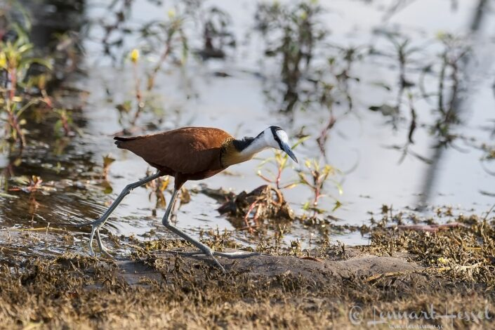 African Jacana at Thamalakane River Lodge, Botswana