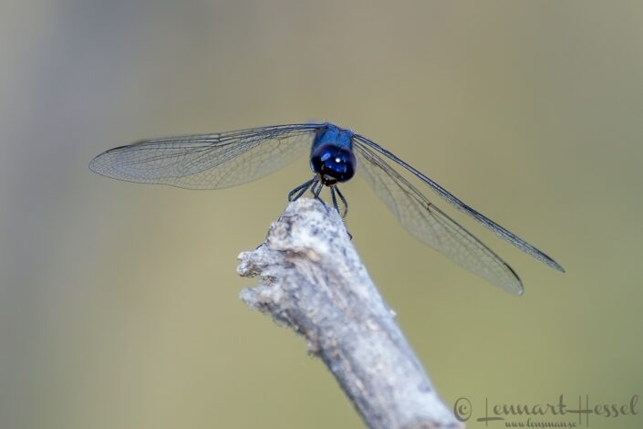 Blue Dragonfly at Thamalakane River Lodge, Botswana