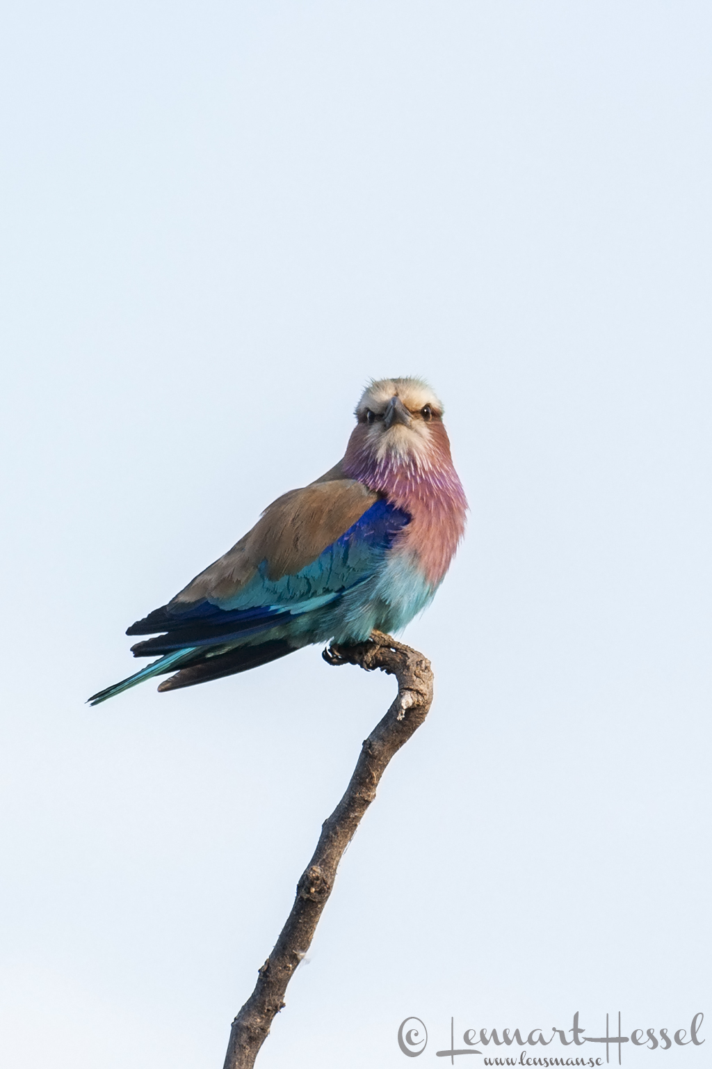 Lilac-breasted Roller at Thamalakane River Lodge, Botswana
