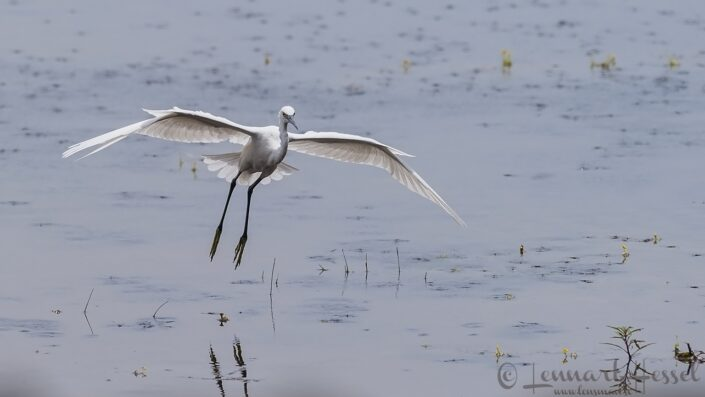 Little Egret at Thamalakane River Lodge, Botswana
