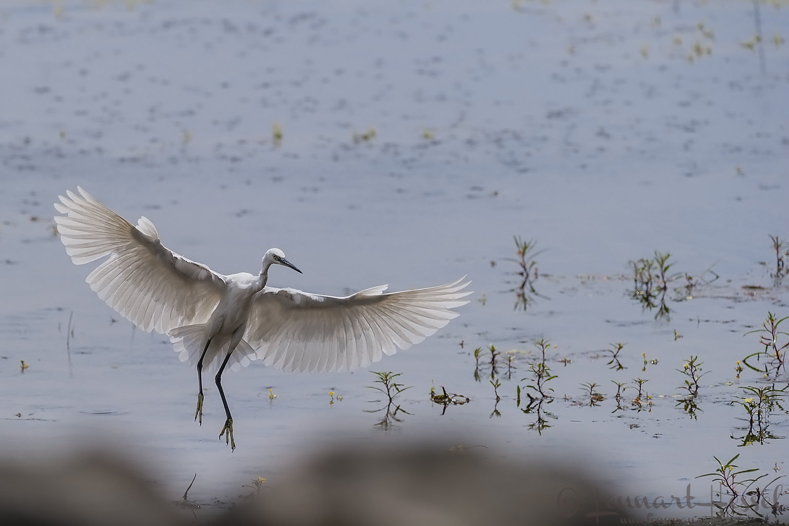 Little Egret at Thamalakane River Lodge, Botswana. National Geographic