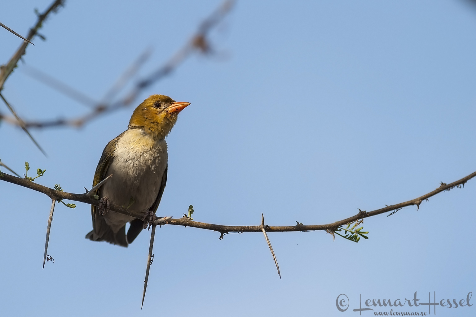 Red-headed Weaver at Thamalakane River Lodge, Botswana