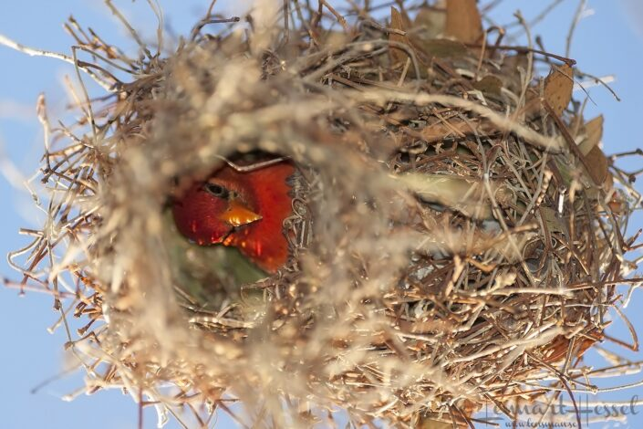 Red-Headed Weaver at Thamalakane River Lodge, Botswana. National Geographic