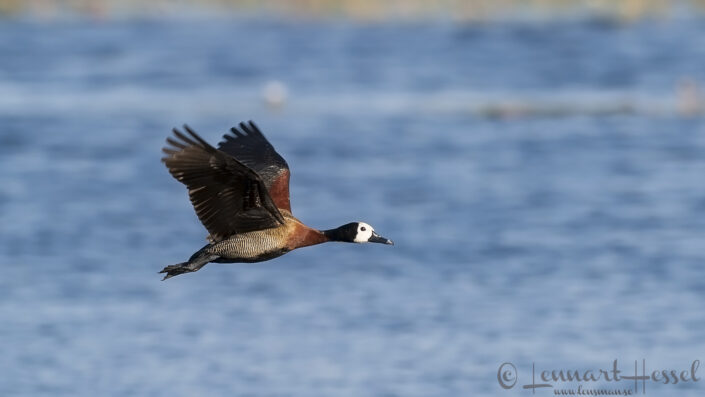 White-faced Whistling Duck at Thamalakane River Lodge, Botswana
