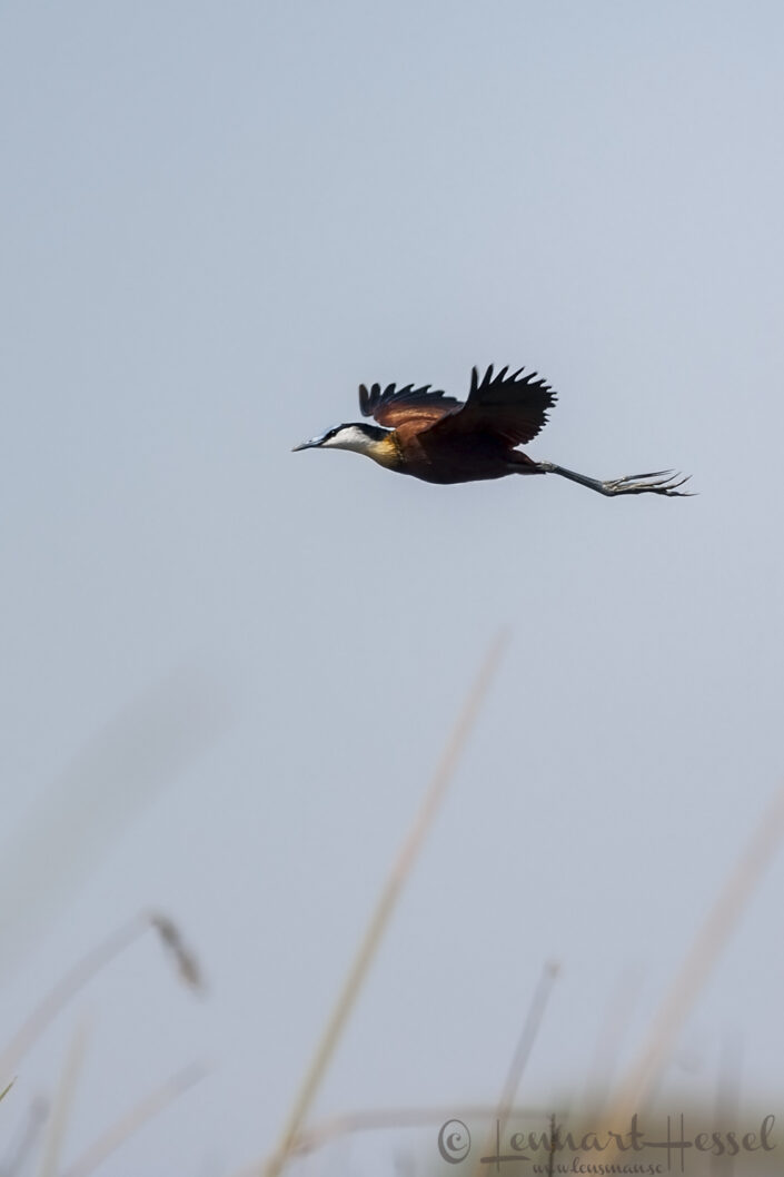 African Jacana in the Okavango Delta, Botswana. National Geographic
