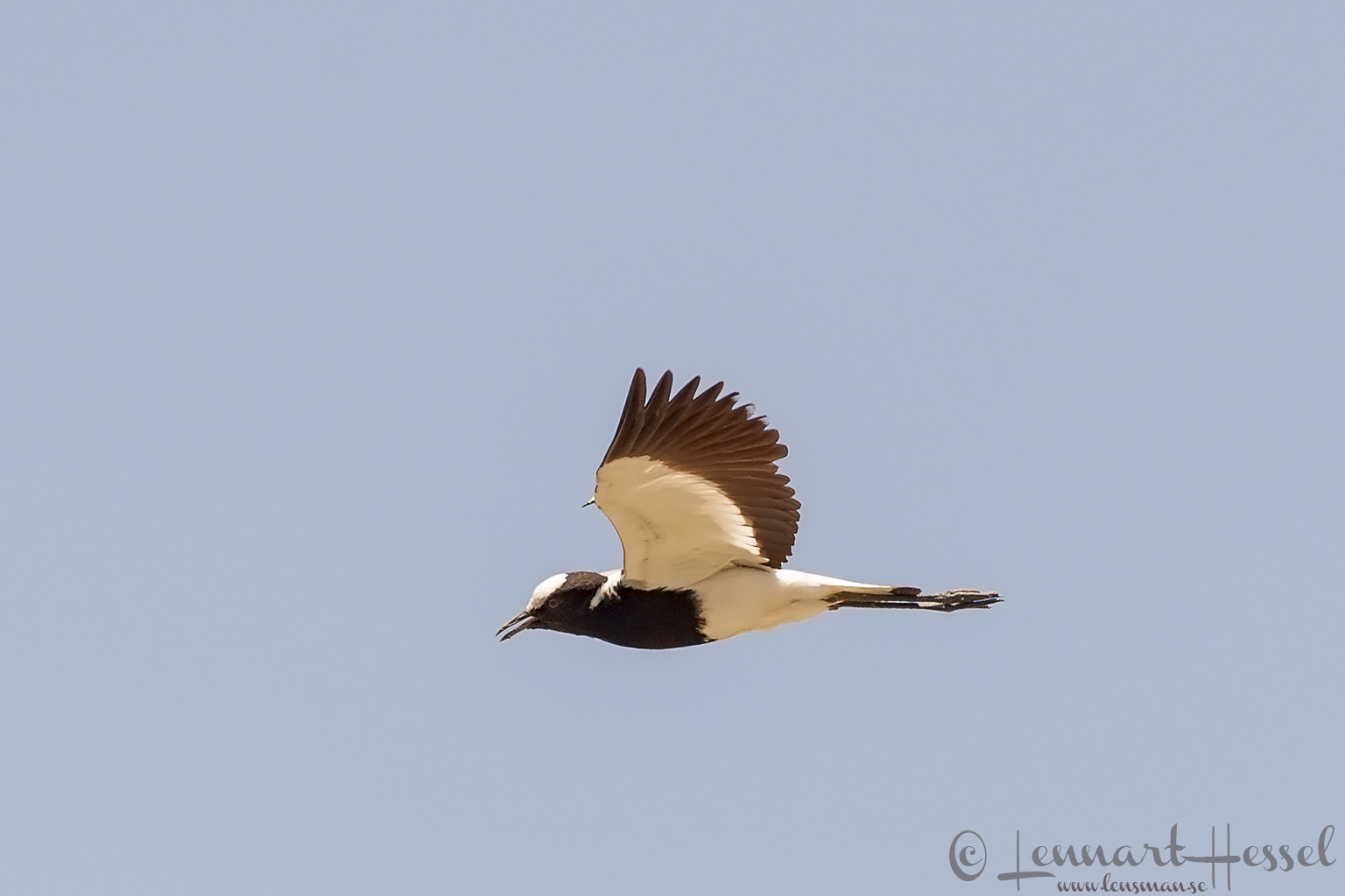 Blacksmith Lapwing in the Okavango Delta, Botswana