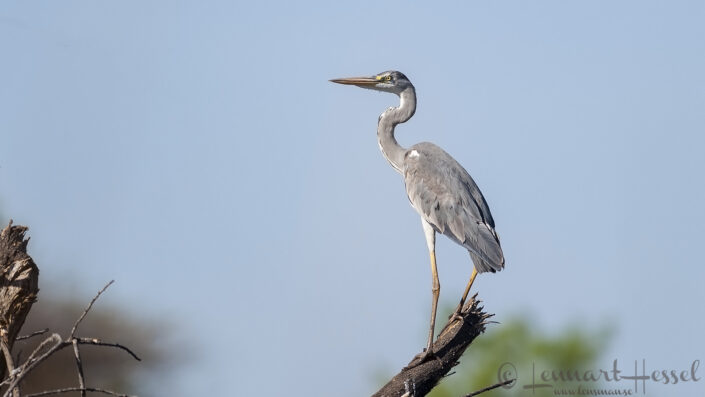 Grey Heron seen in the Okavango Delta, Botswana