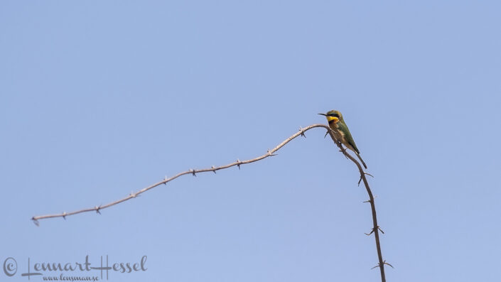 Little Bee-eater in the Okavango Delta, Botswana