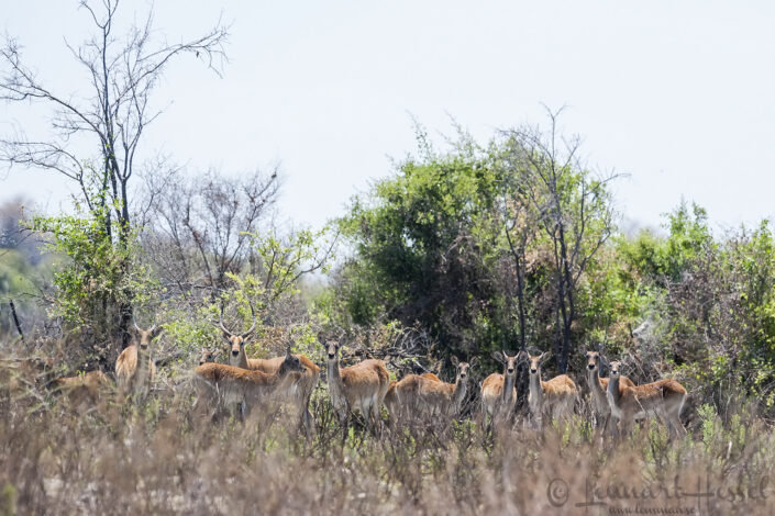 Red Lechwe in the Okavango Delta, Botswana