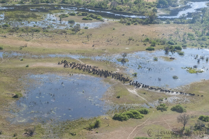 Buffalo herd in the Okavango Delta, Botswana