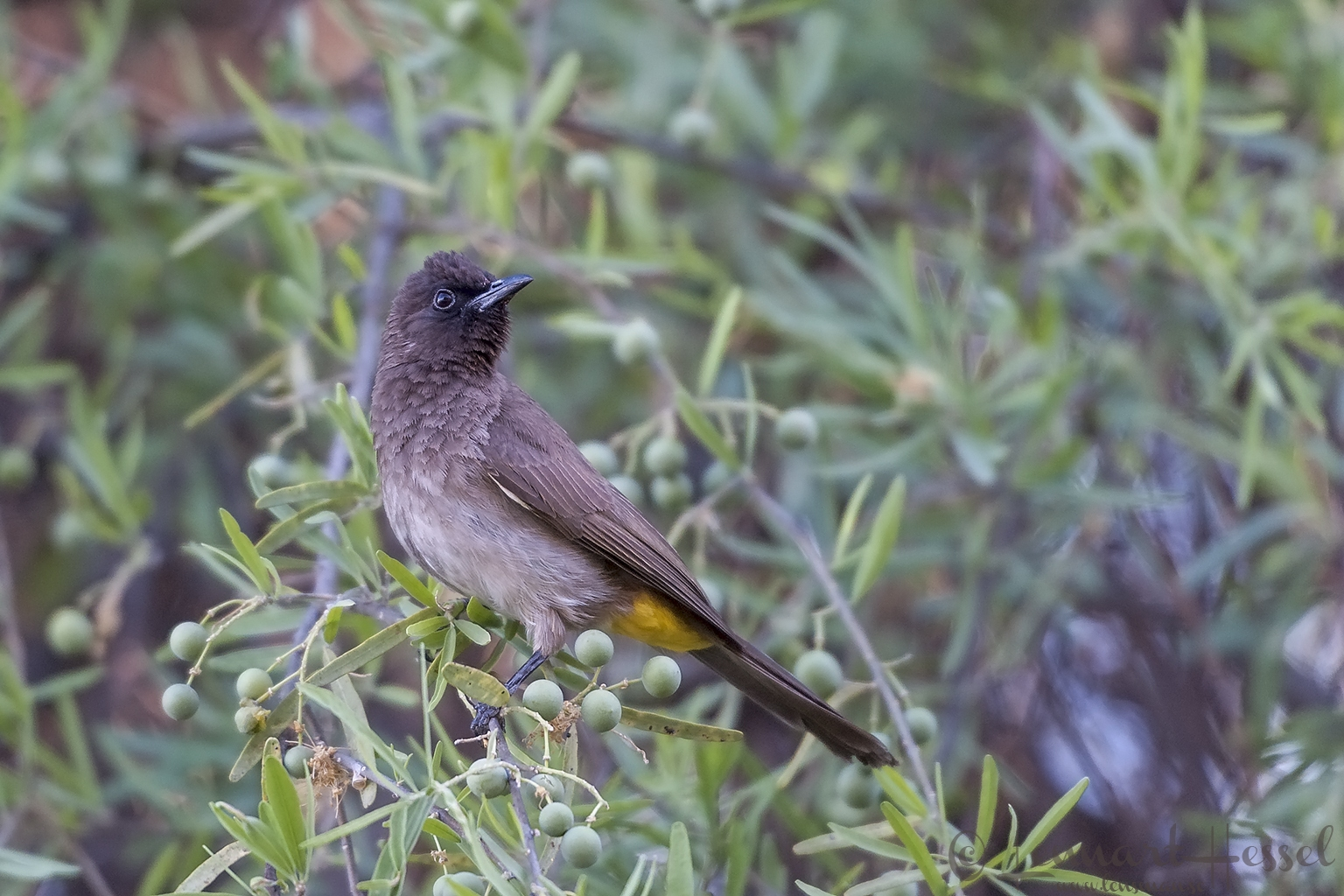 Dark-capped Bulbul at Thamalakane River Lodge, Botswana