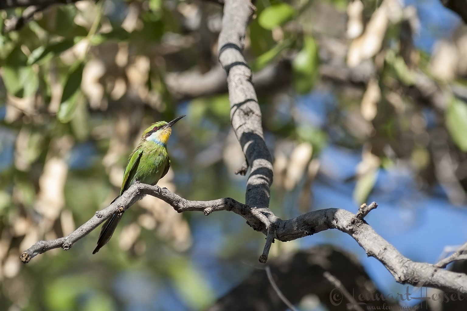 Swallow-tailed Bee-eater in Moremi Game Reserve, Botswana