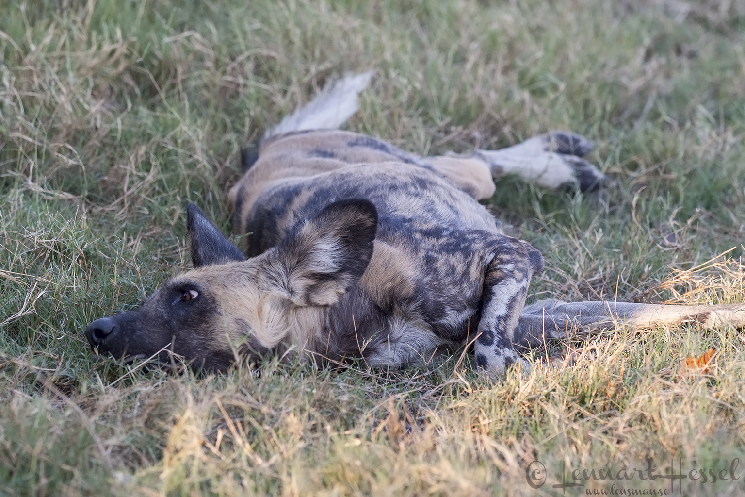 African Wild Dog in Moremi Game Reserve, Botswana - animal