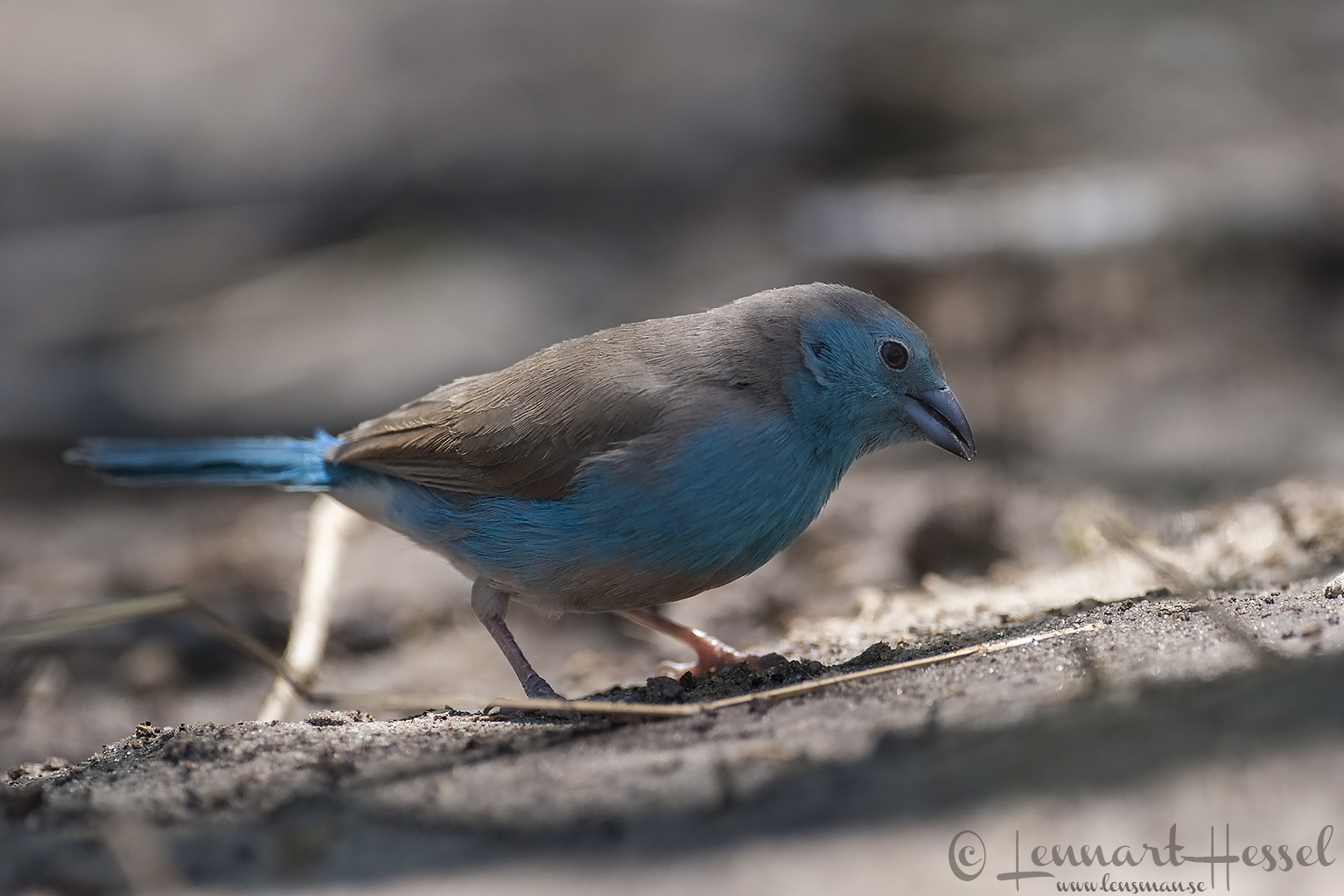 Blue Waxbill in Moremi Game Reserve, Botswana