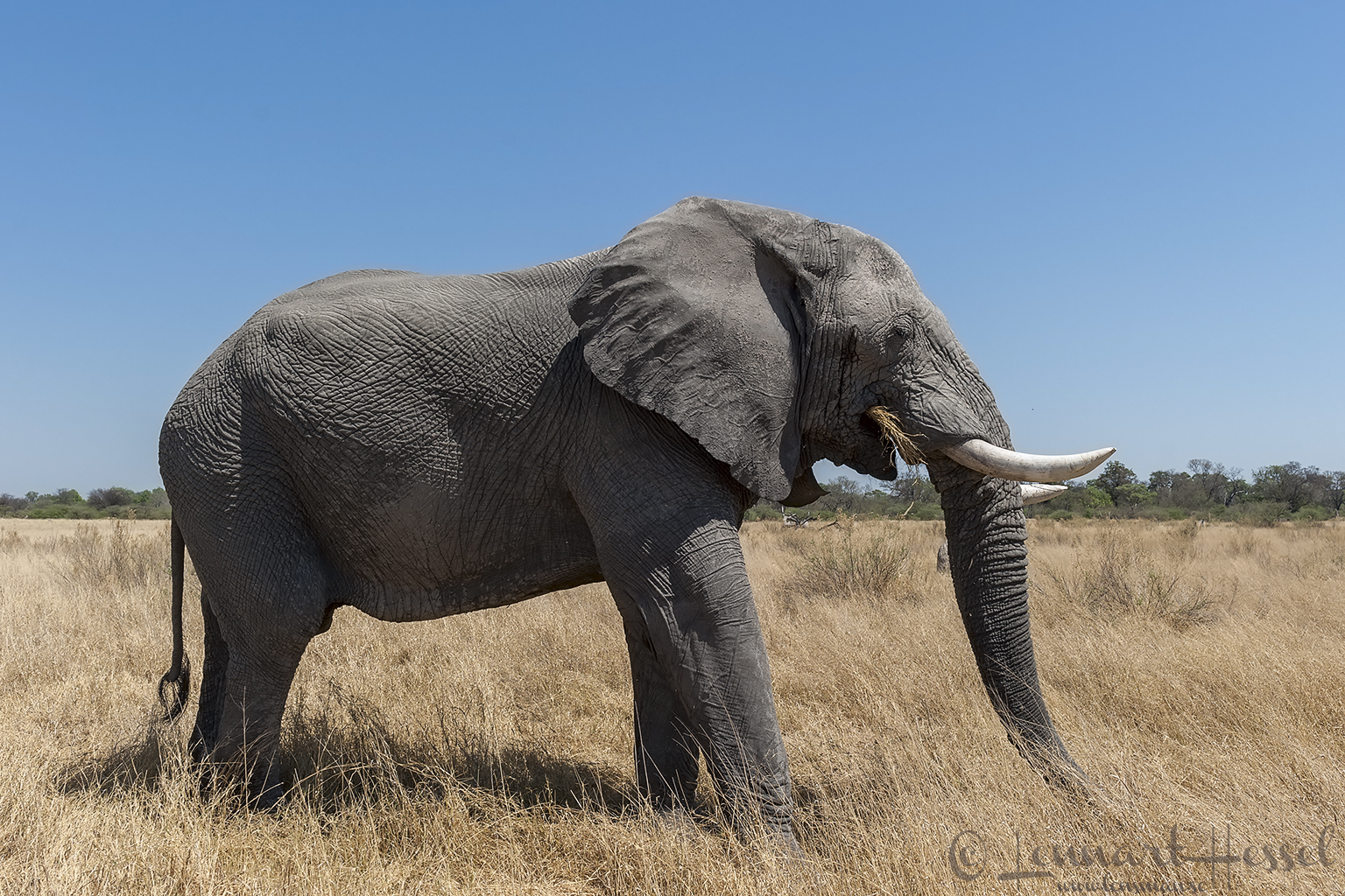 Elephant in Moremi Game Reserve, Botswana