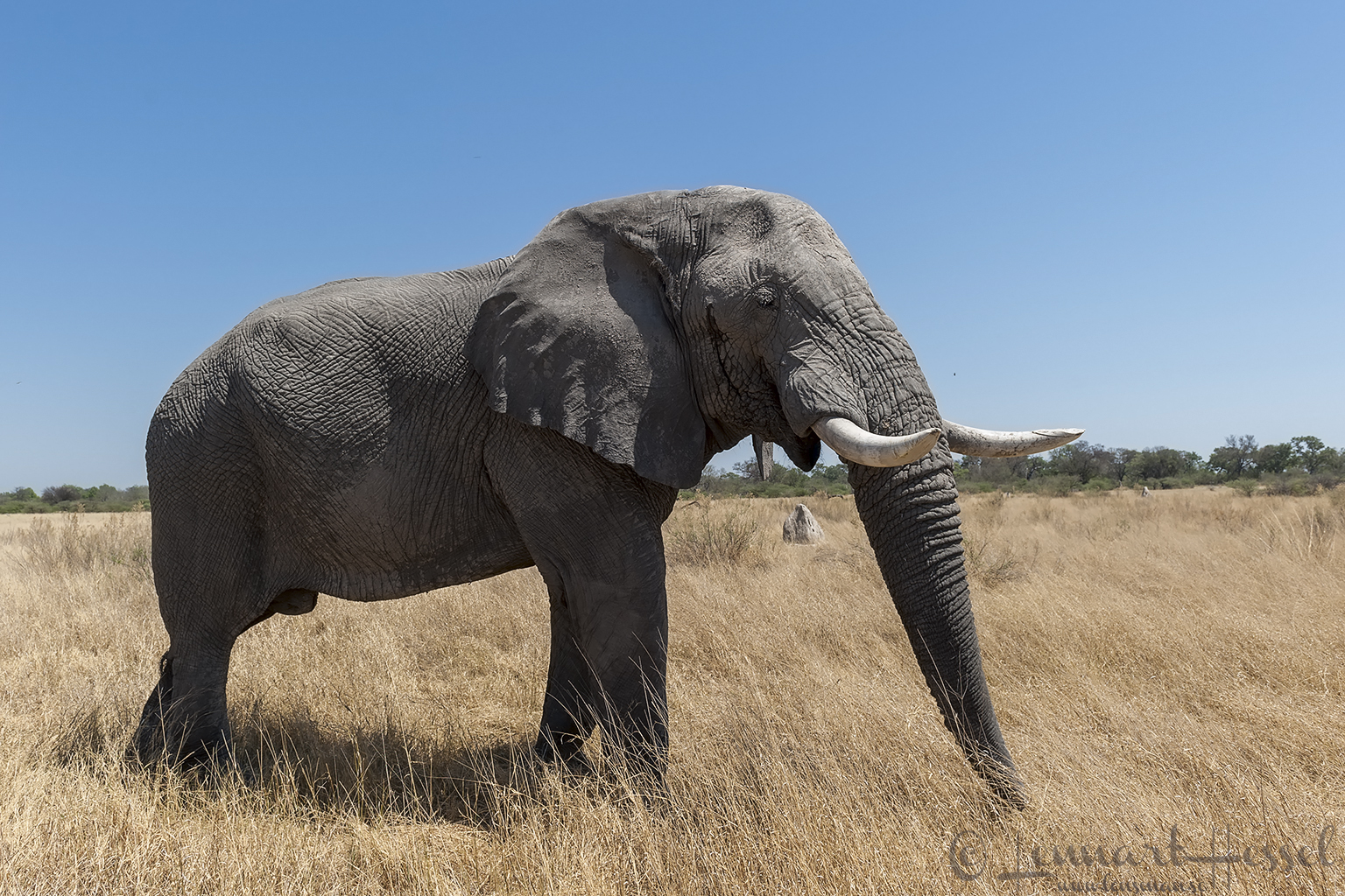 Elephant in Moremi Game Reserve, Botswana - animal