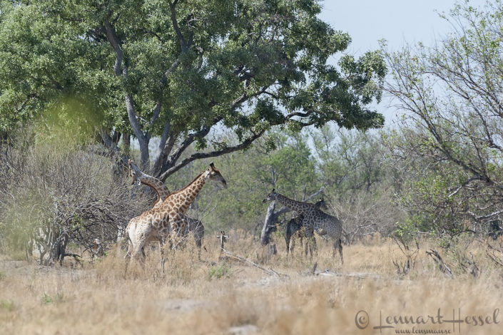 Giraffes in Moremi Game Reserve, Botswana