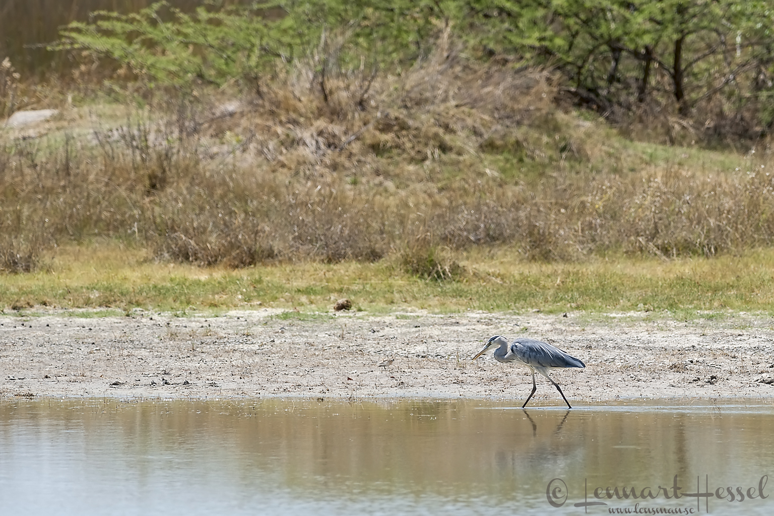 Grey Heron in Moremi Game Reserve, Botswana