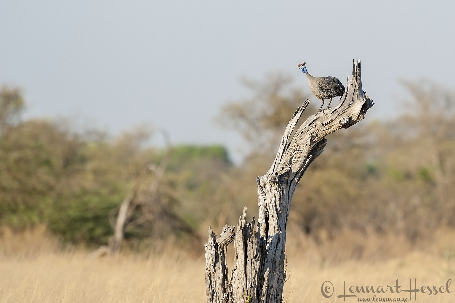 Helmeted Guineafowl in Moremi Game Reserve, Botswana