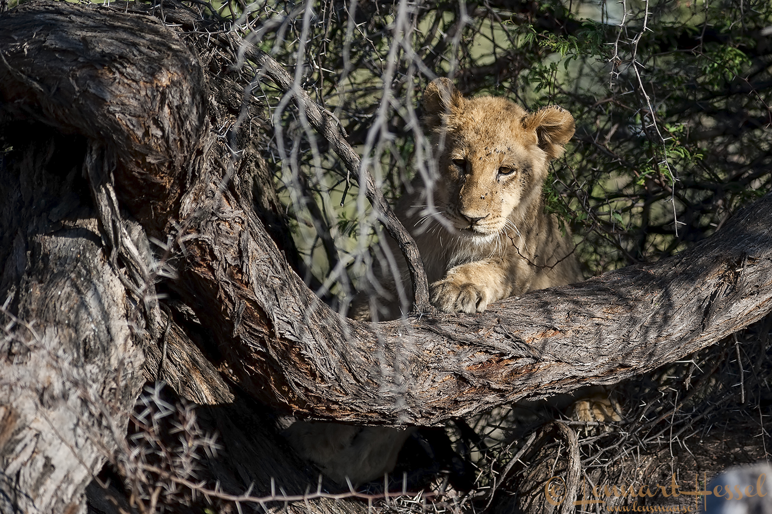 Lion cub in Moremi Game Reserve, Botswana safari