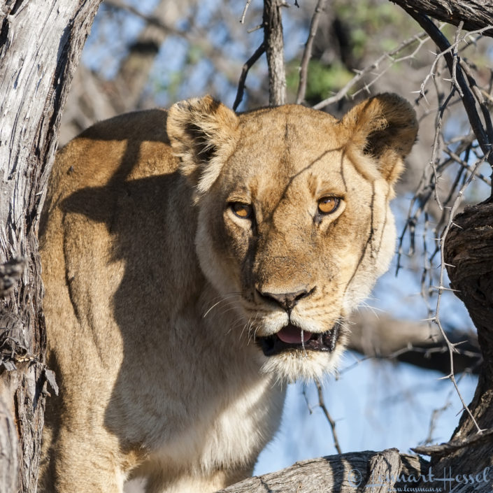 Lioness in Moremi Game Reserve, Botswana