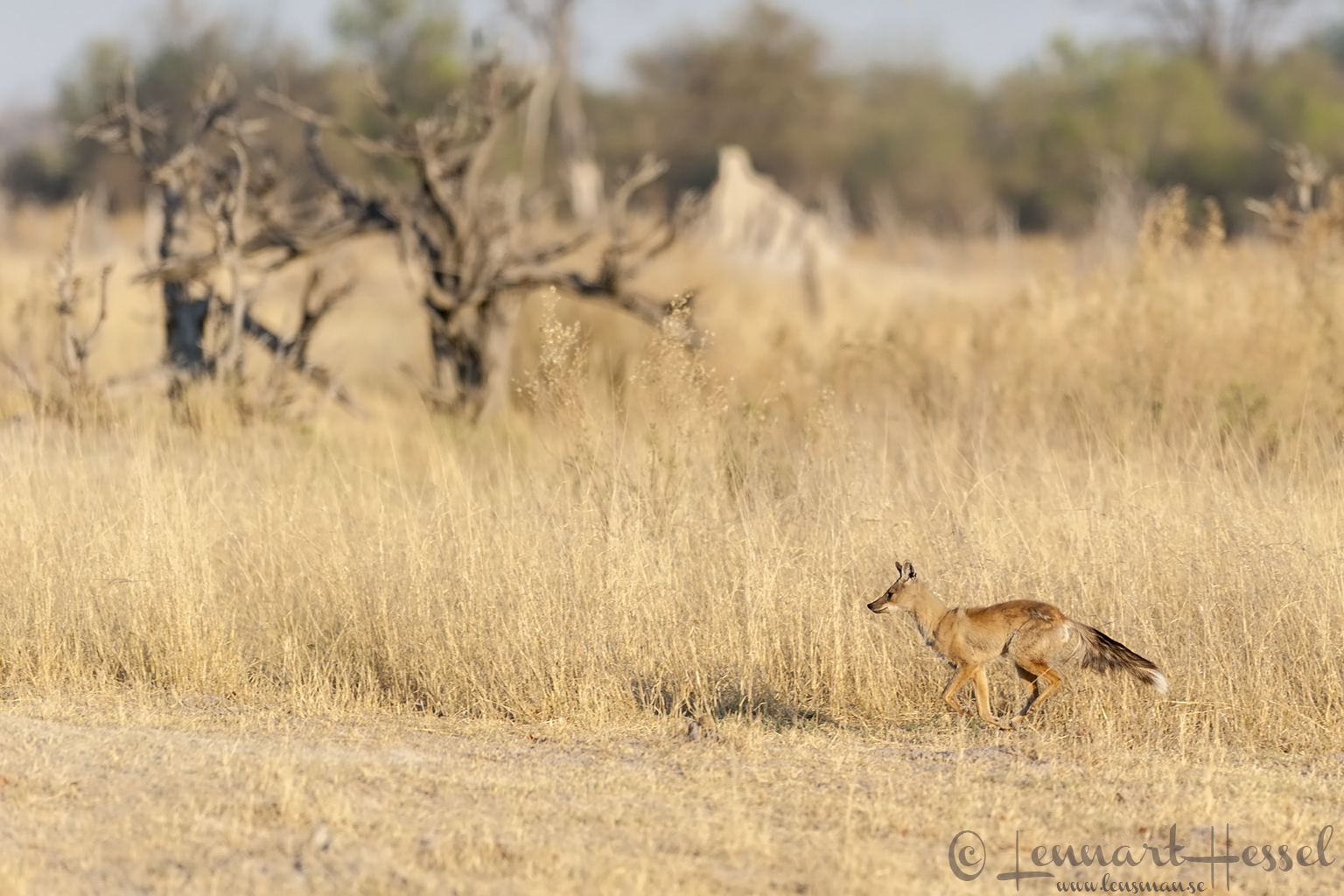 Side-striped Jackal in Moremi Game Reserve, Botswana
