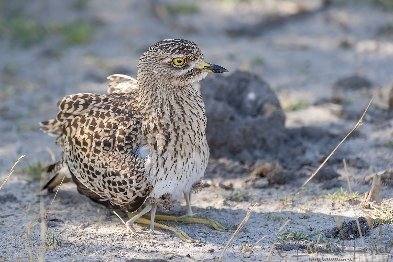 Spotted Thick-knee in Moremi Game Reserve, Botswana National Geographic