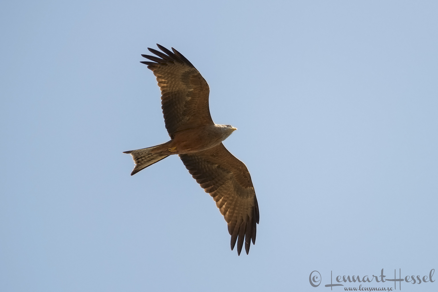 Yellow-billed Kite in Moremi Game Reserve, Botswana