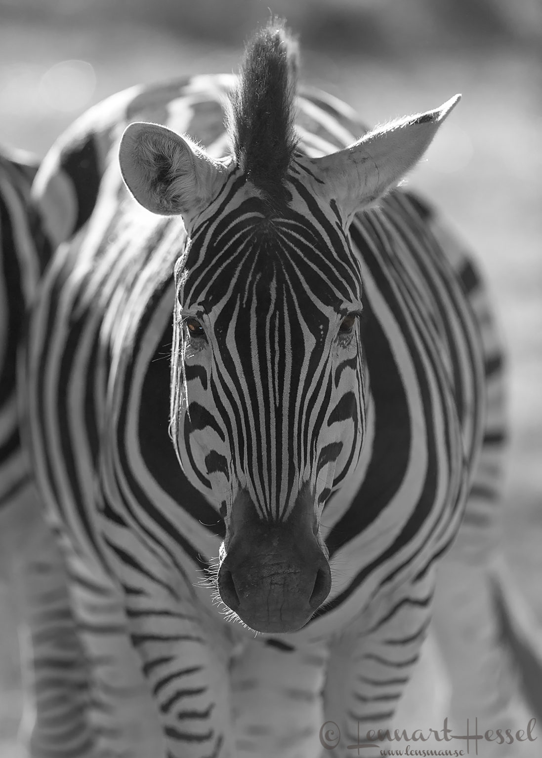 Zebra in Moremi Game Reserve, Botswana - animal
