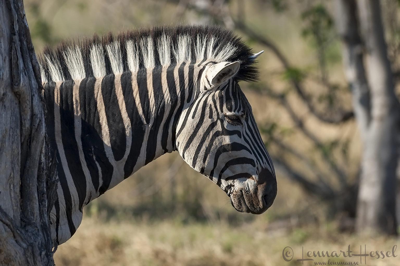 Zebra in Moremi Game Reserve, Botswana