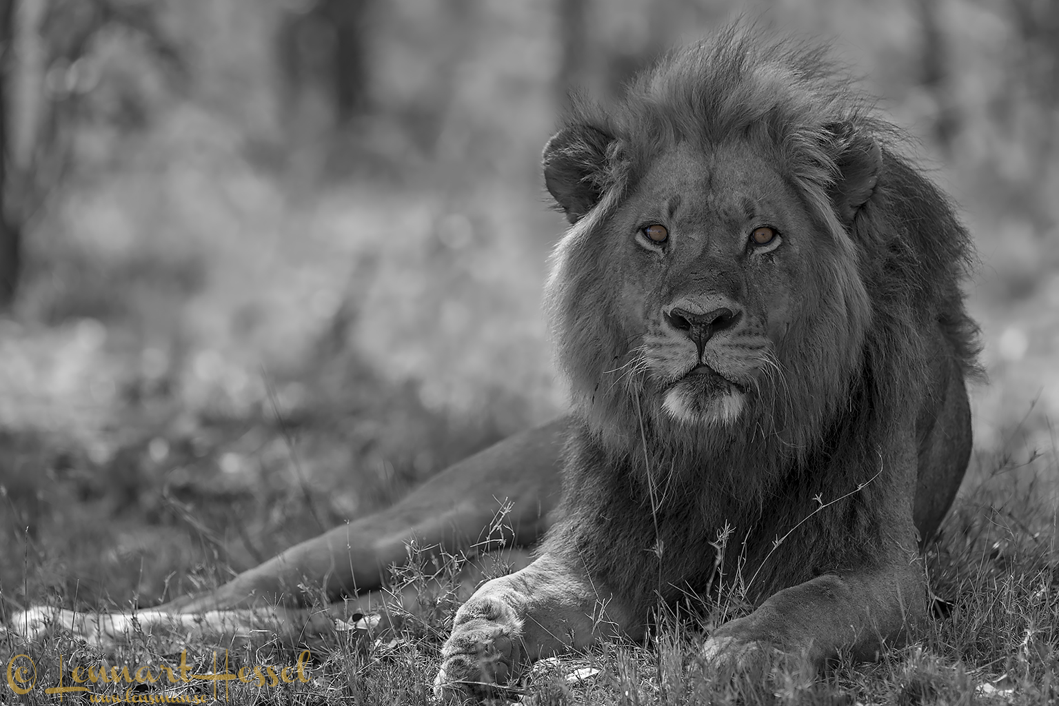 Lion in Moremi Game Reserve, Botswana - animal