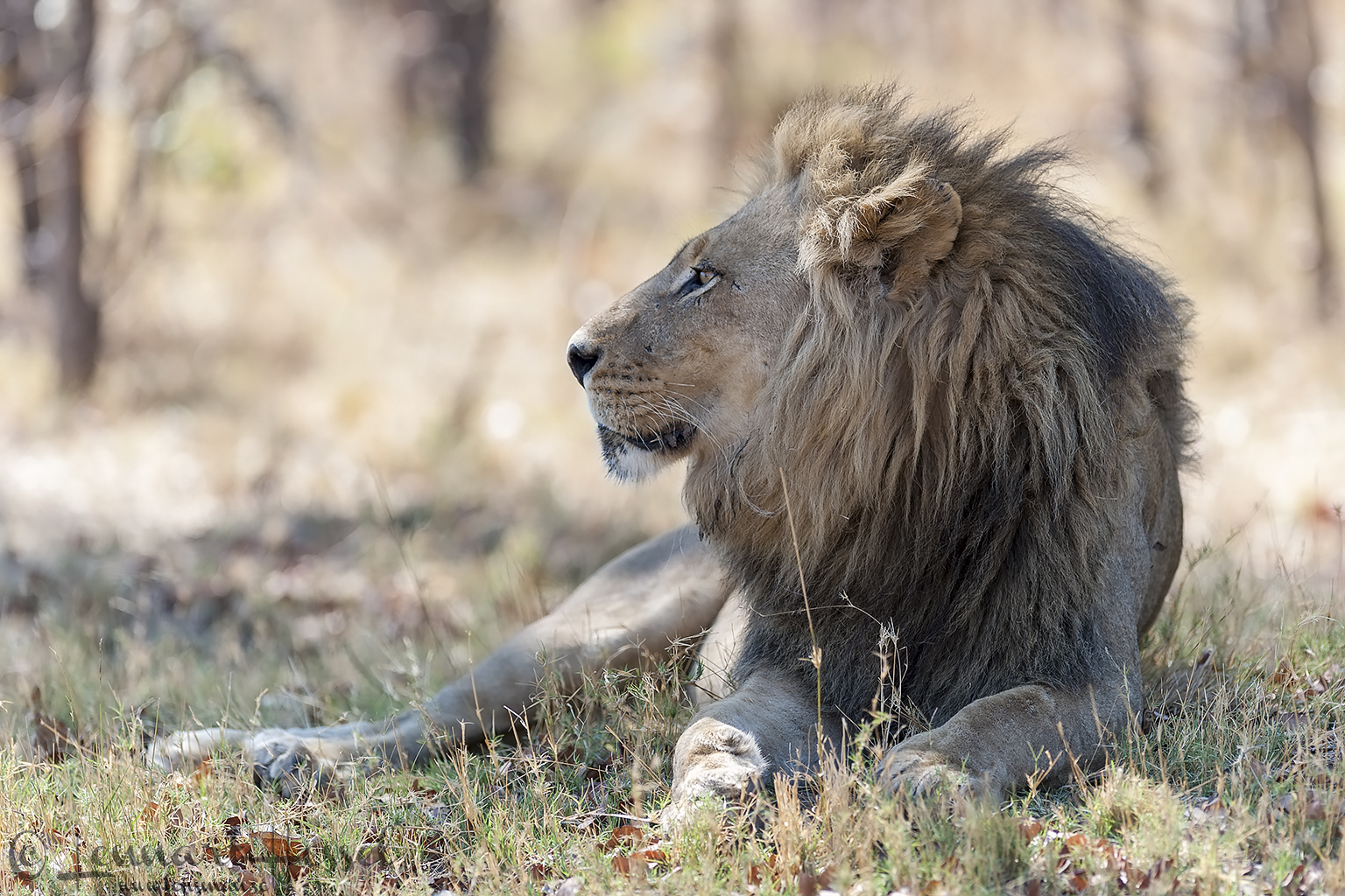 Lion gazing in Moremi Game Reserve, Botswana - animal