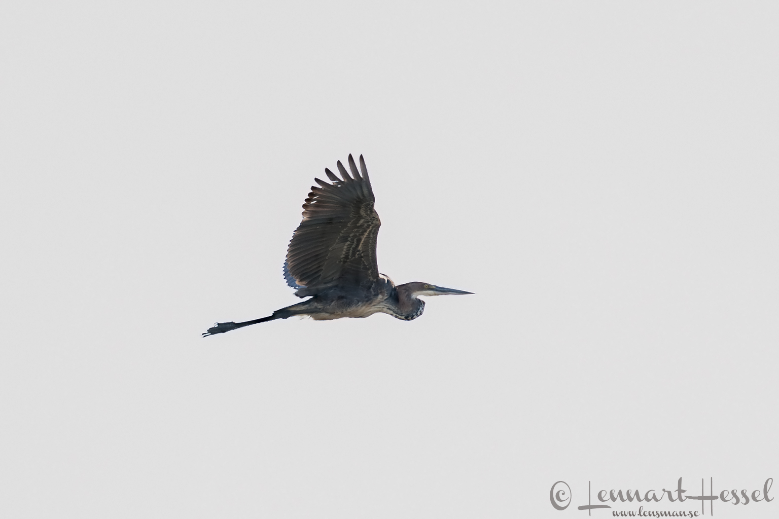 Purple Heron in Moremi Game Reserve, Botswana