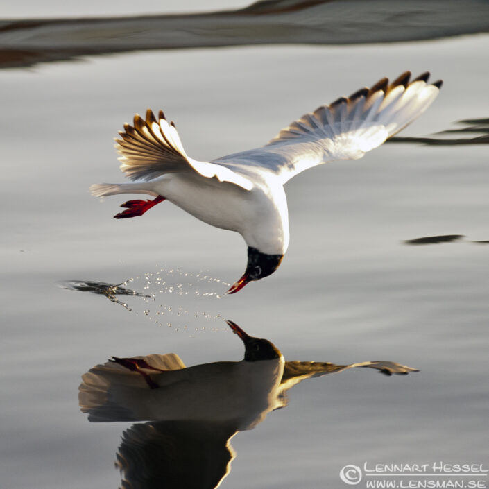 Black-headed Gull in Fiskehamnen, Gothenburg. National Geographic