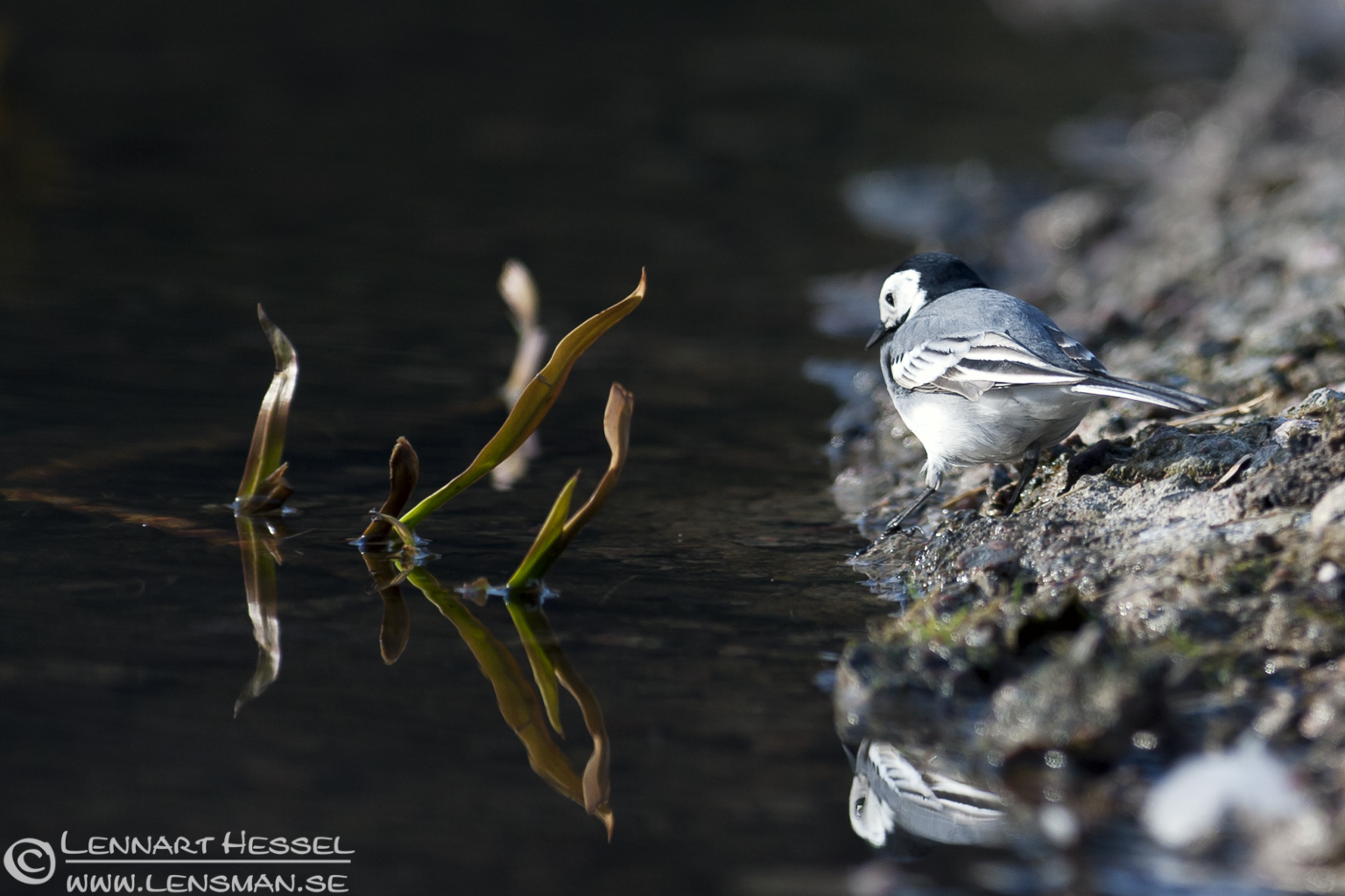 Pied Wagtail in Slottskogen, Gothenburg