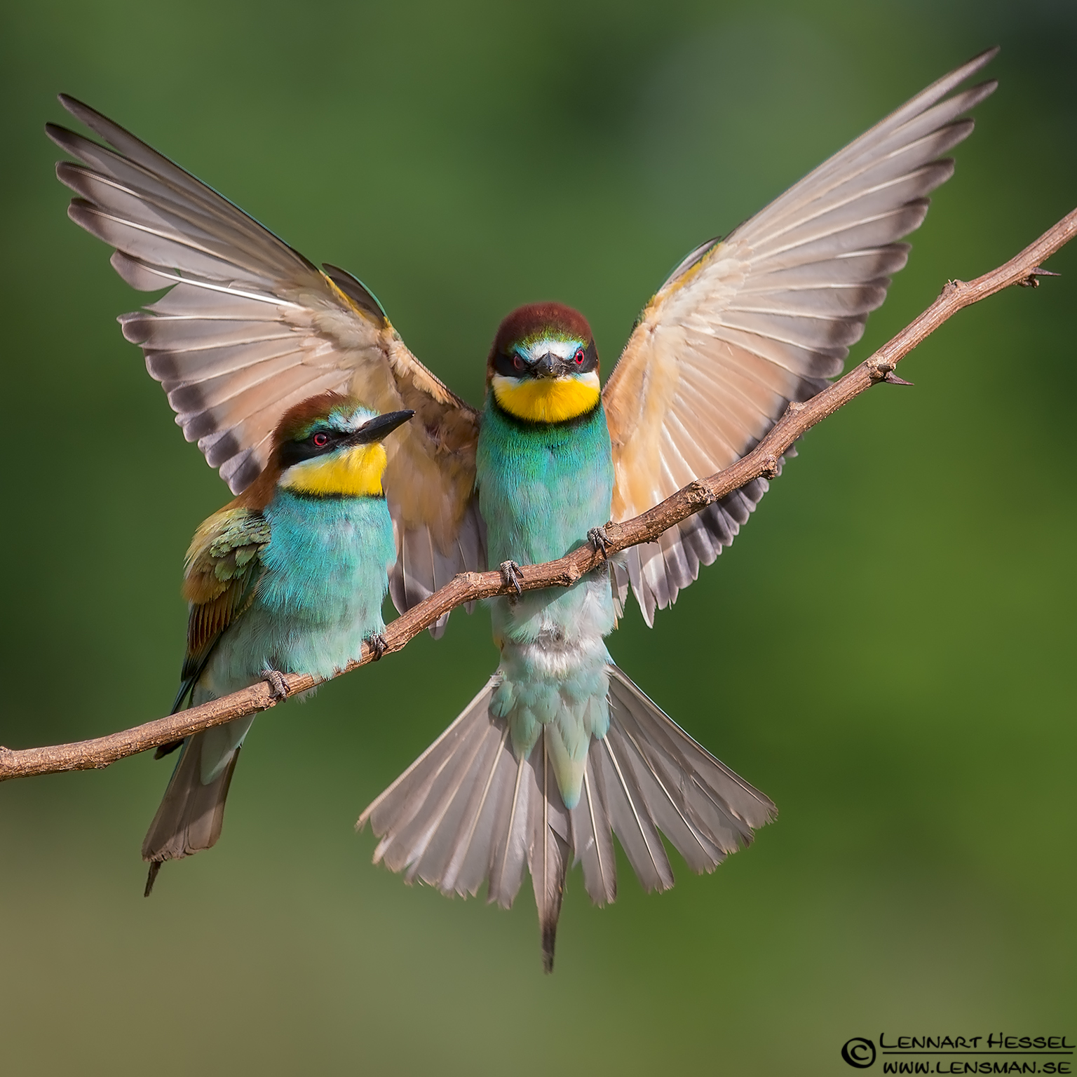 European Bee-eater - The Gaze