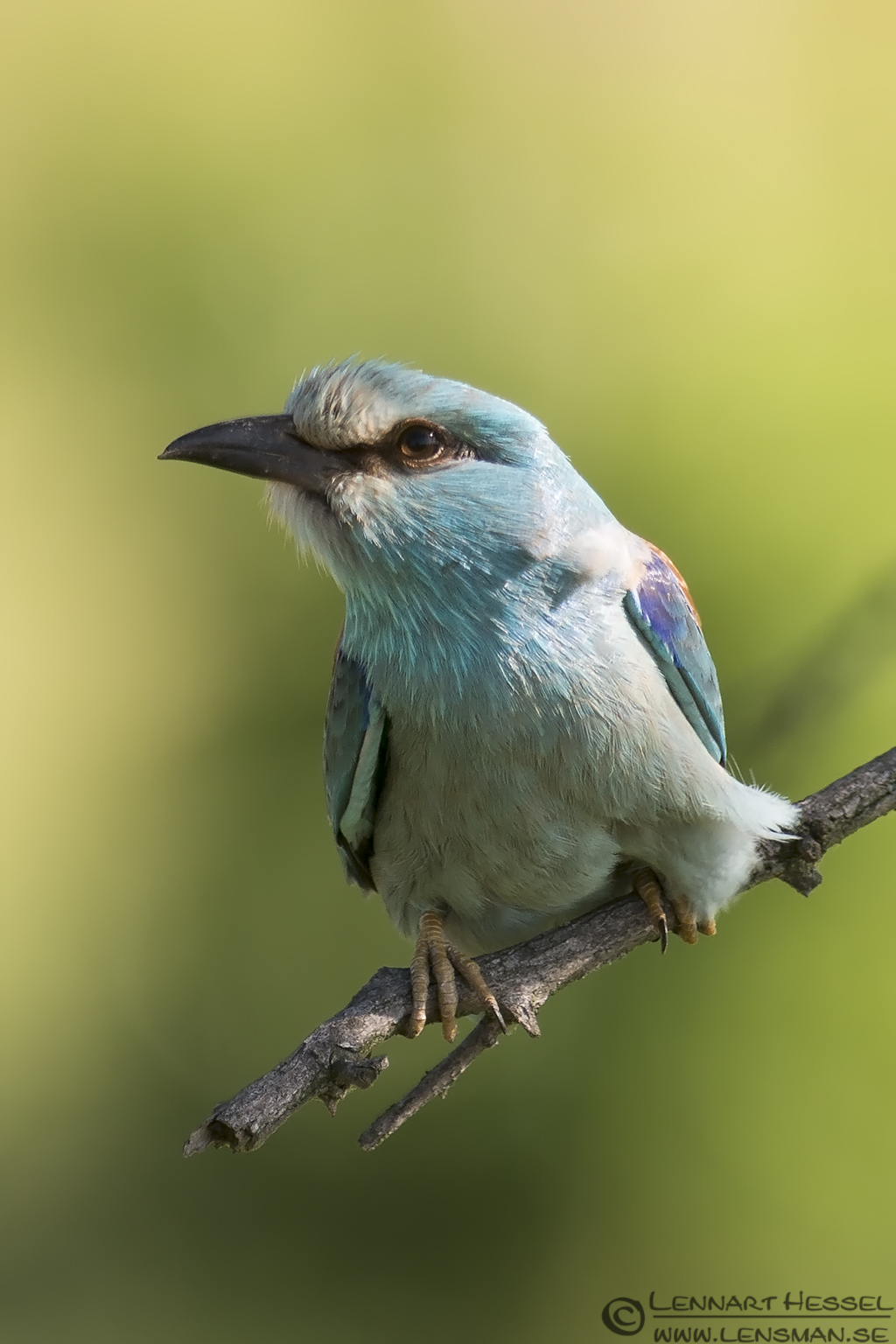 European Roller photo from Hungary