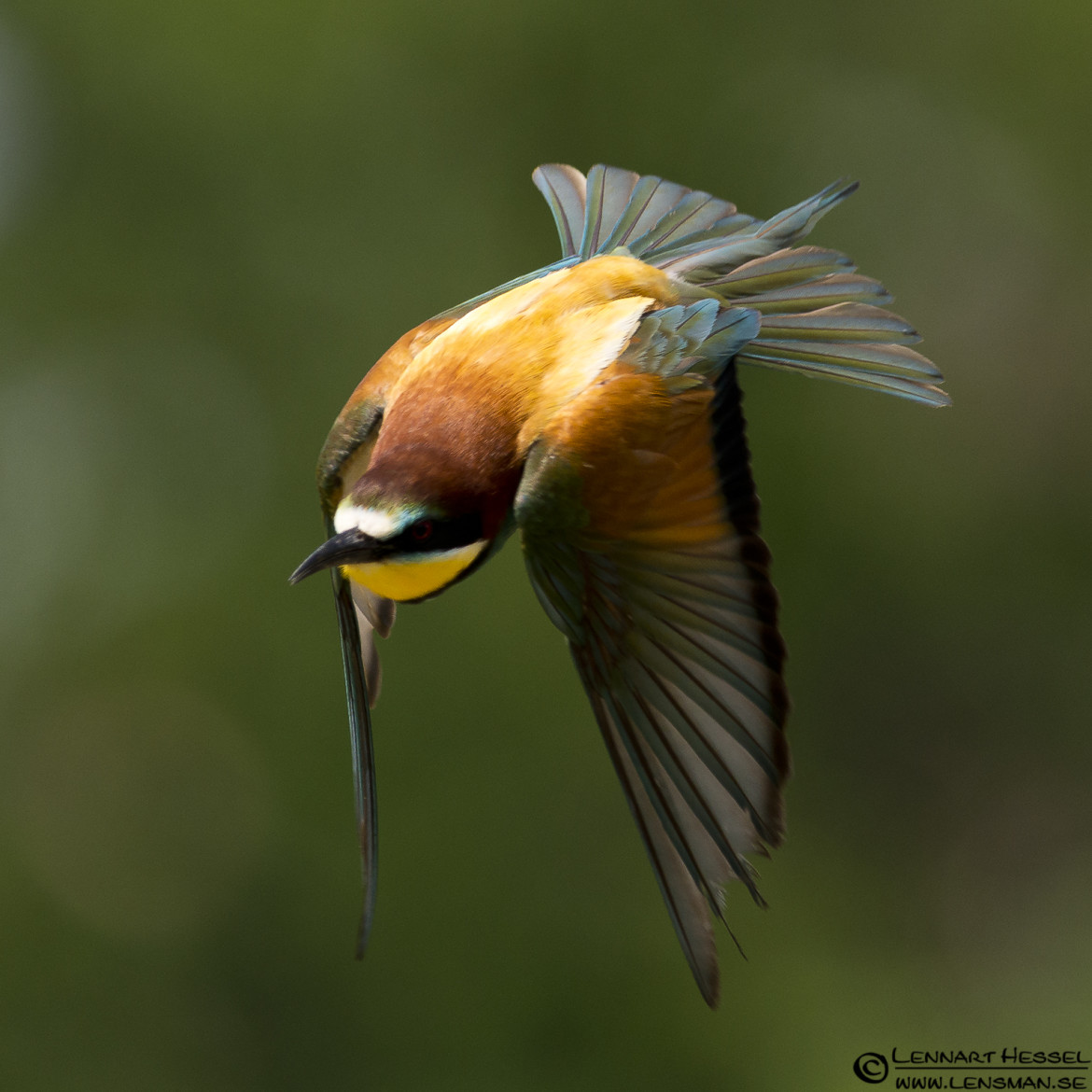 European Bee-eater with an intent, site