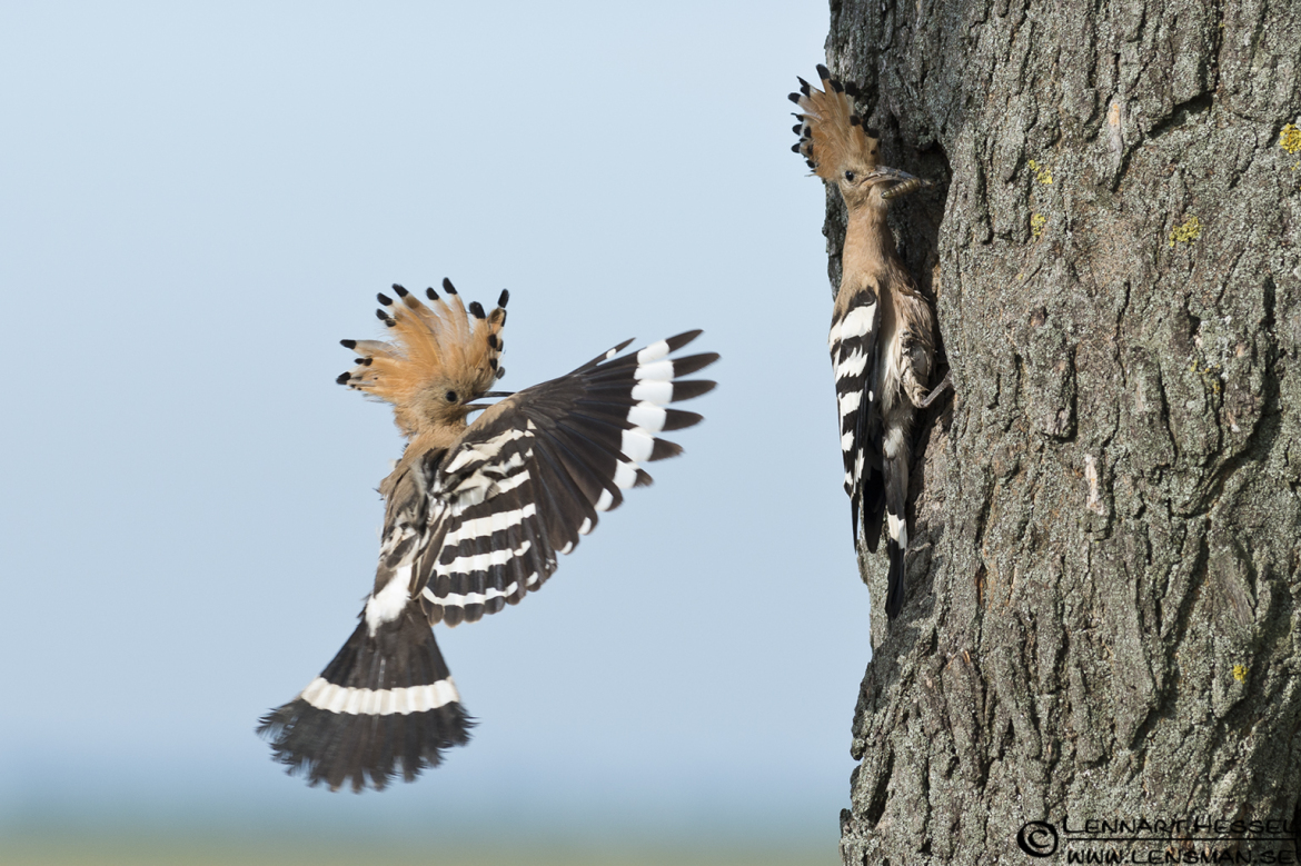 Hoopoe incoming delivery, photo from Hungary