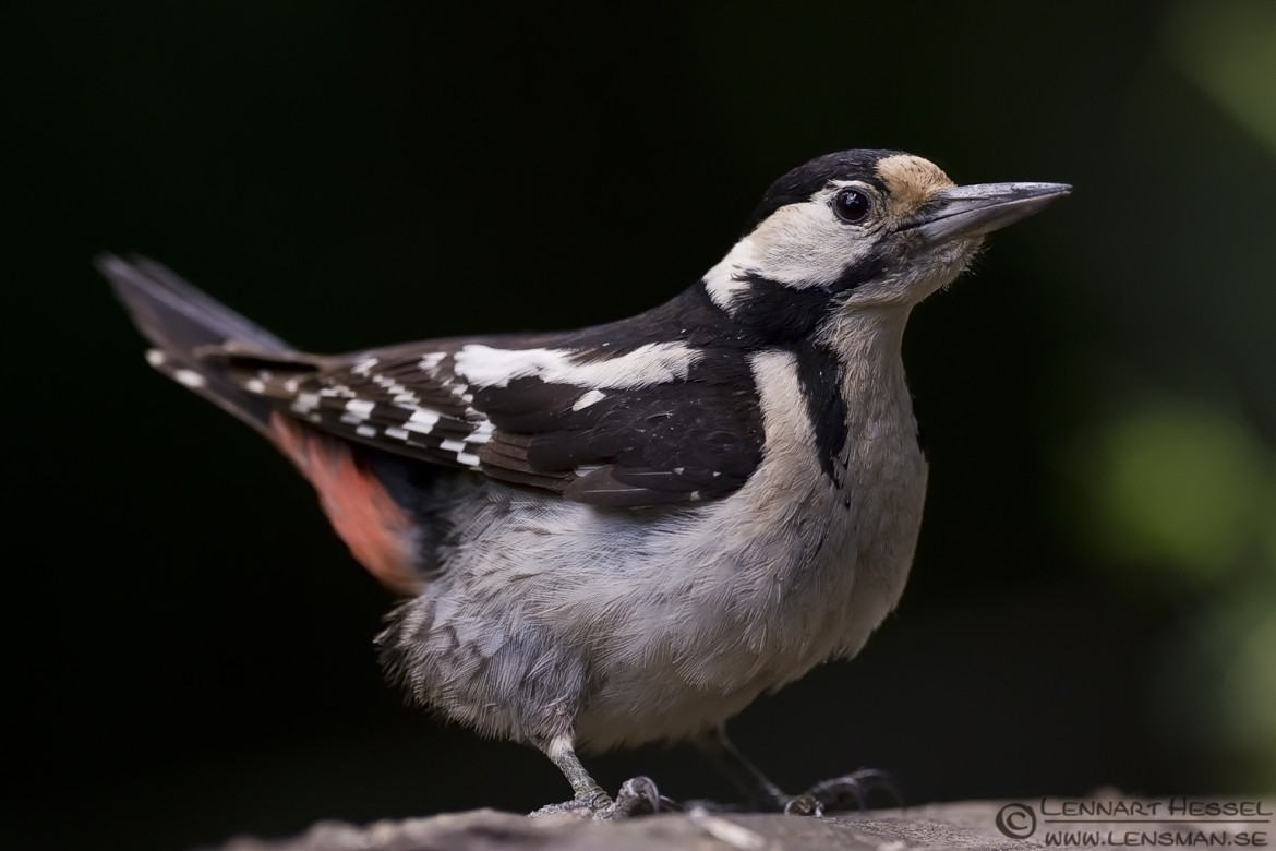 Syrian Woodpecker from Hungary, National Geographic wild bird