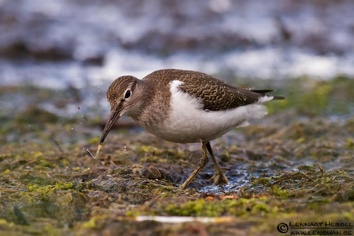 Common Sandpiper, portfolio