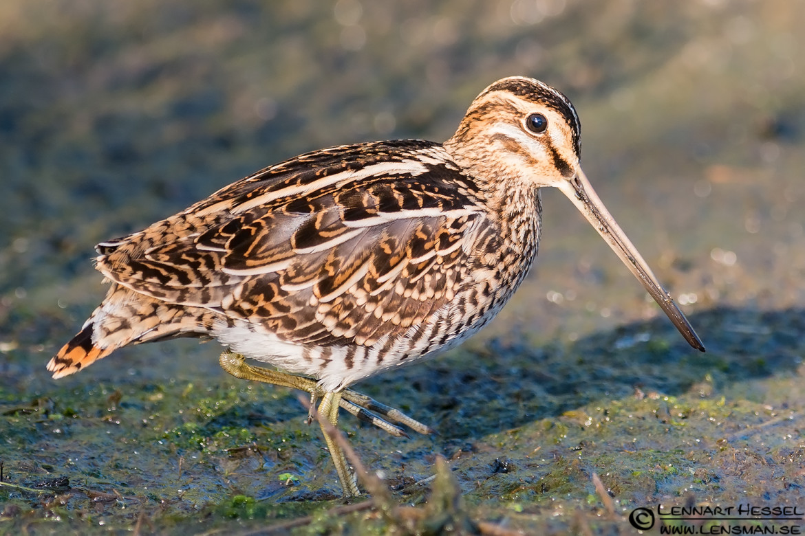 Common Snipe, portfolio