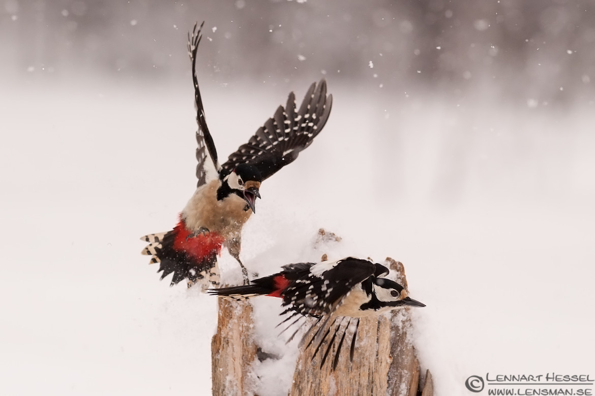 Great Spotted Woodpecker, National Geographic wild bird