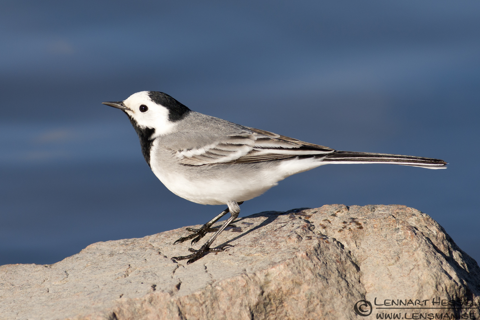 White Wagtail at Hökällan, Gothenburg nikon d800