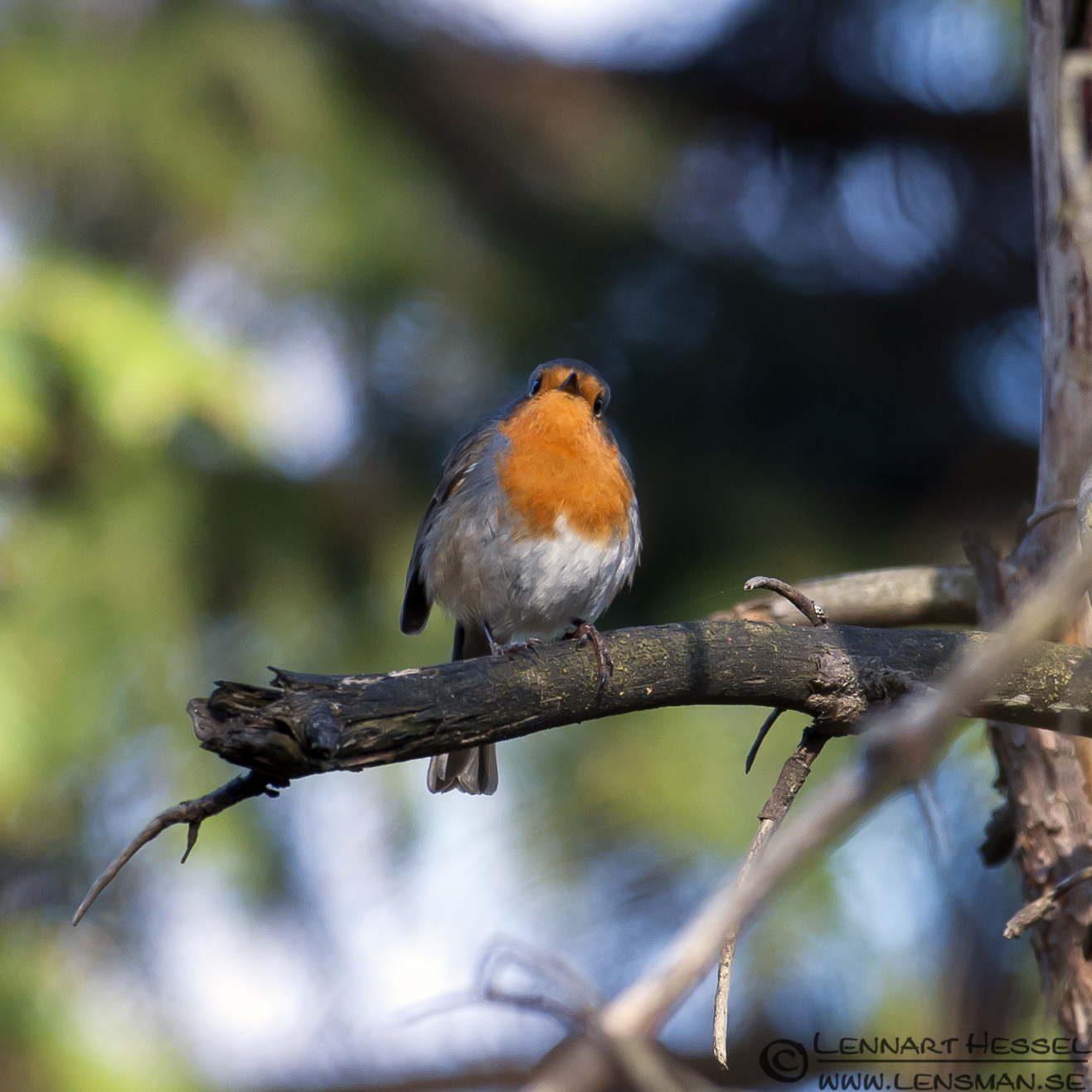 European Robin confirmation