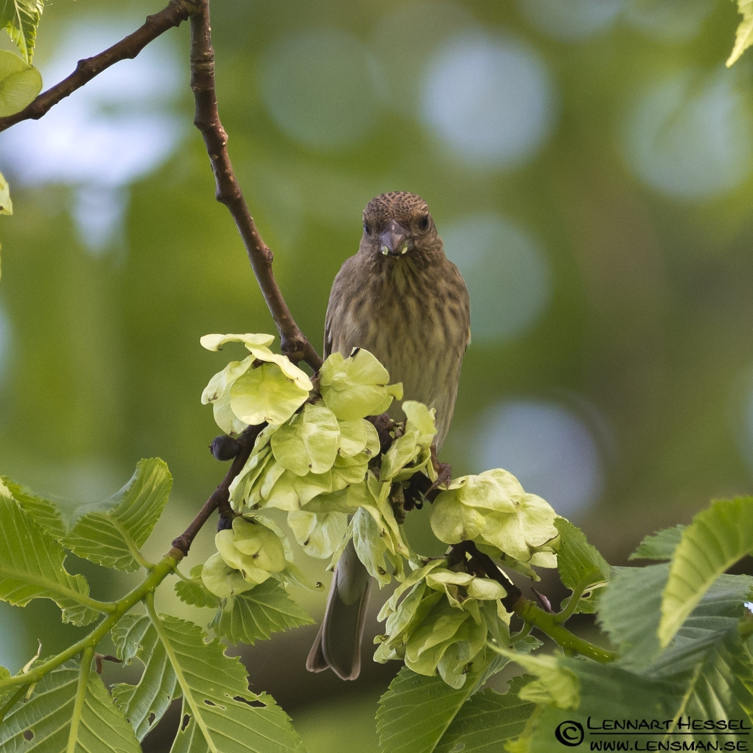 Common Rosefinch at Säveån, Gothenburg